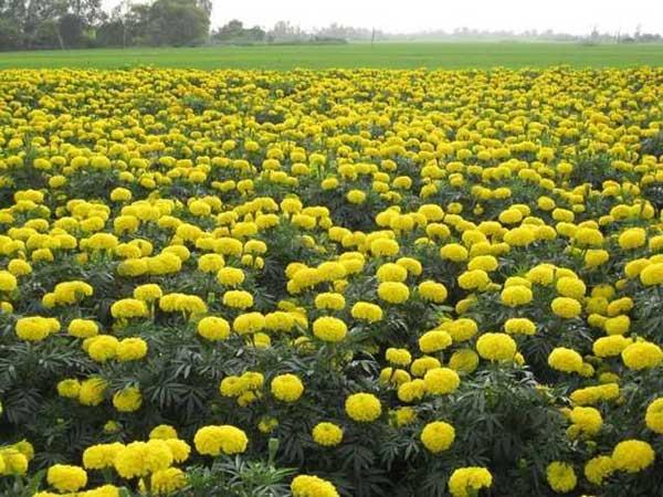Ngủ mơ thấy hoa vạn thọ là điềm báo điều gì? Đánh số nào may mắn?
