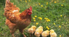 Giải mã giấc mơ thấy con gà- Mơ thấy gà đánh con bao nhiêu