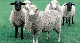 Giải mã giấc mơ thấy con cừu là điềm báo gì
