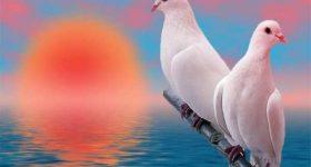 Ngủ mơ thấy chim bồ câu là điềm hên hay xui ? Đánh đề con gì ?