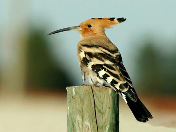 Mơ thấy chim gõ kiến là điềm gì? Chim gõ kiến là số mấy?