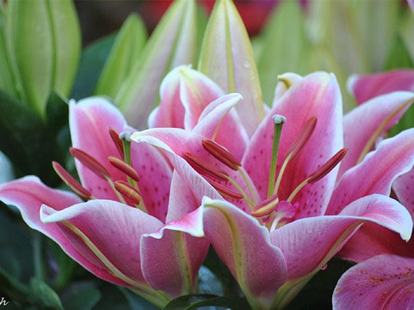 Mơ thấy hoa ly điềm báo lành hay dữ?