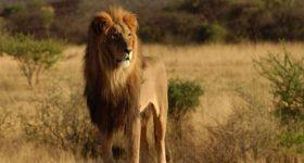 Nằm ngủ mơ thấy con sư tử đánh lô đề số mấy ? Là điềm báo gì ?