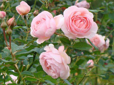 Mơ thấy hoa hồng điềm báo tốt hay xấu? Đánh con gì chính xác?