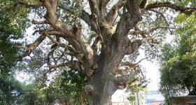 Nằm mơ thấy cây cổ thụ là điềm báo gì? đánh con gì chuẩn