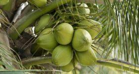 Nằm mơ thấy quả dừa là điềm lành hay dữ ? Đánh số đề con gì ?