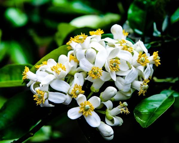 Giải mã bí ẩn giấc mơ thấy hoa bưởi là điềm báo gì