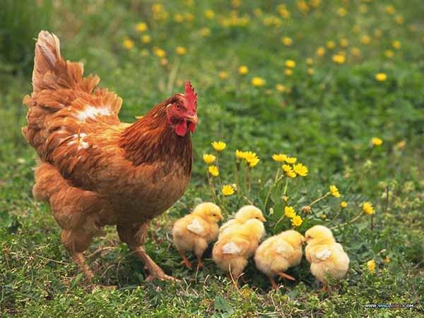 Nằm mơ thấy đàn gà đánh con gì, có ý nghĩa điềm báo gì
