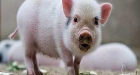 Ngủ mơ thấy lợn đánh lô đề số mấy ? Là điềm báo gì ?